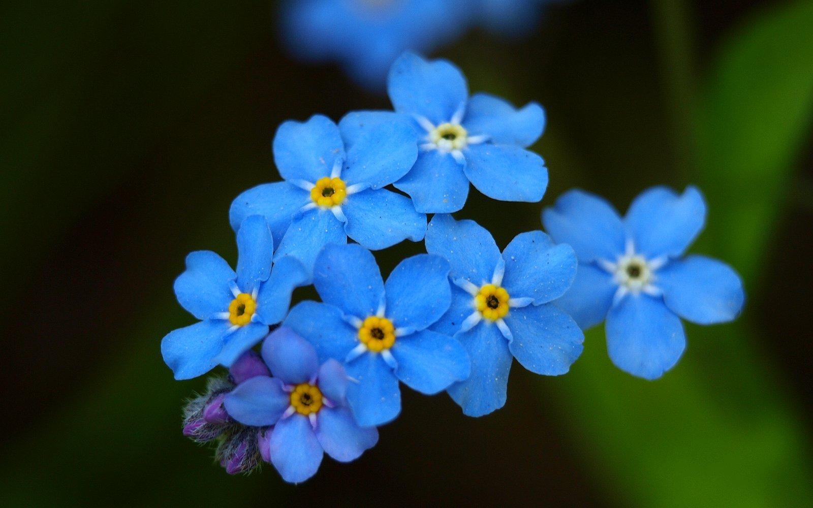 Цветы с синими цветами : названия, описание, фото 48
