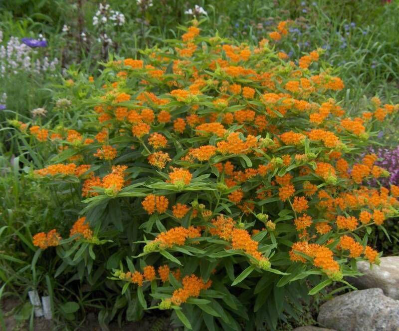 Цветок многолетний