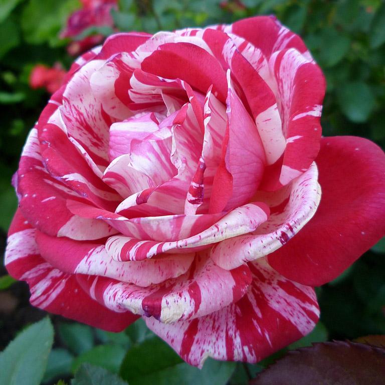Сорта розы в картинках