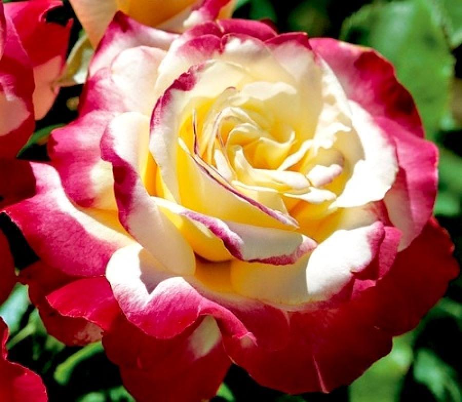 новые сорта роз фото тех пор