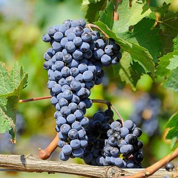 Виноград плодовый Неретинский
